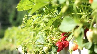 Când înfloresc căpșunii?