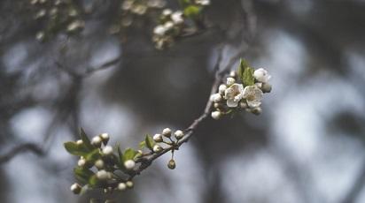 Când înflorește mărul columnar?