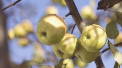 Când se coace mărul columnar?