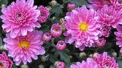 Când se plantează crizantemele?