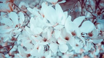 Când se plantează magnolia?