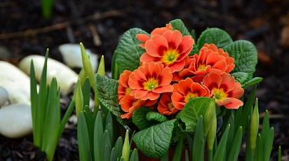Care sunt condițiile de grădină favorabile pentru primula?