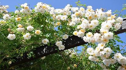 Care sunt trandafirii urcători cu flori mici?