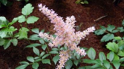 Ce condiții necesită solul pentru astilbe?