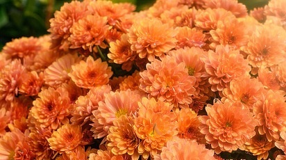 Cum se îngrijesc crizantemele în ghiveci?