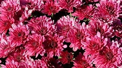 Cum se îngrijesc crizantemele?