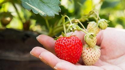 Cum se înmulțesc căpșunii?