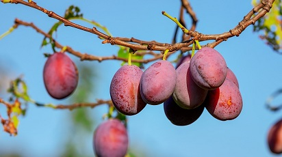 Cum se păstrează pomii fructiferi până la plantare?