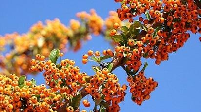 Cum se plantează arbustul de cătină?