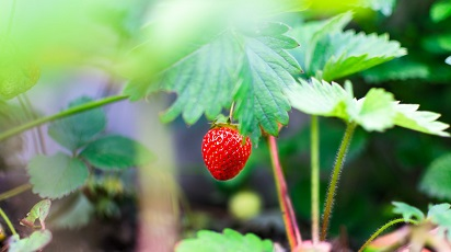Cum se plantează căpșunul prin semințe?