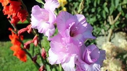Cum se plantează gladiolele în grădină?