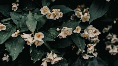 Cum se plantează iasomia?