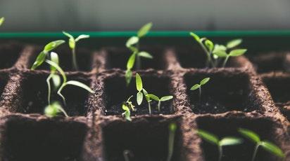 Cum se realizează repicarea plantelor tinere?