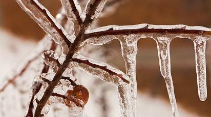 Este afinul rezistent la îngheț?