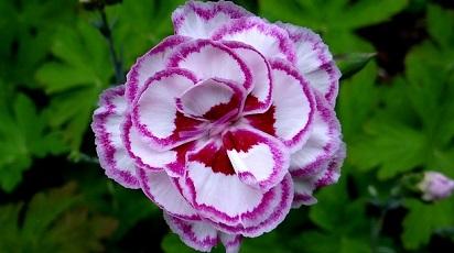 Garofițele sunt flori parfumate?