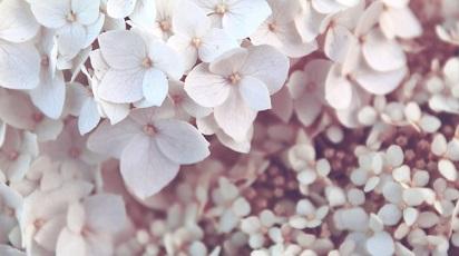 Se poate planta hortensia în grădină?
