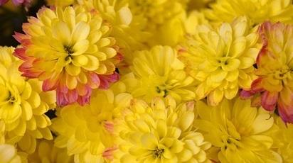 Sunt crizantemele rezistente la îngheț?