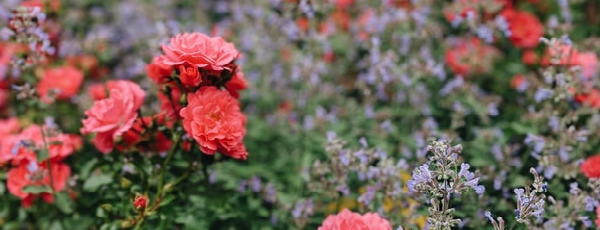 Combină lavanda și trandafirii în grădină