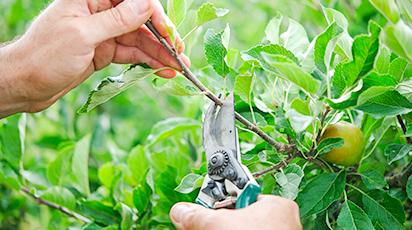 10 reguli de bază pentru tăierea pomilor fructiferi
