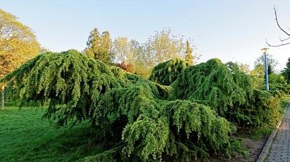 3 soiuri de conifere pe care le poți crește în grădină
