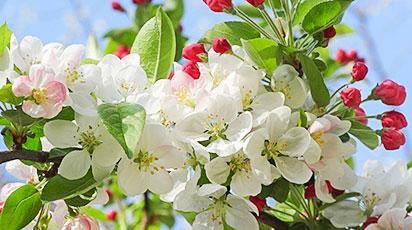 Arsurile solare la pomii fructiferi: ghid practic
