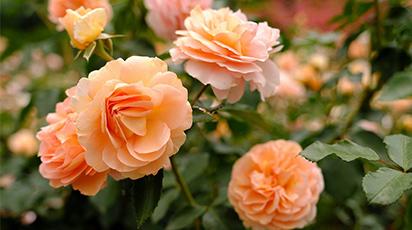 Când și unde se plantează trandafirii teahibrizi