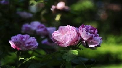 Care sunt soiurile de trandafiri care cresc la umbră?