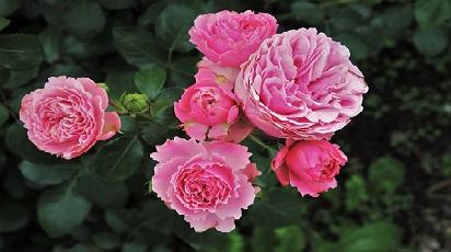 Care sunt soiurile de trandafiri care înfloresc toată vara?