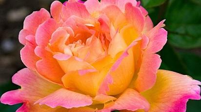 Care sunt soiurile de trandafiri care înfloresc tot anul?