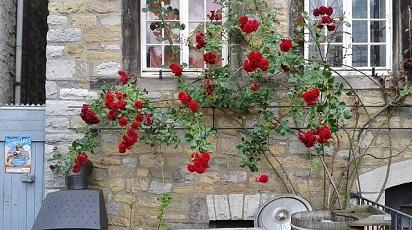 Care sunt speciile/soiurile de trandafiri căţărători?
