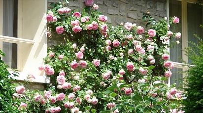 Care sunt trandafirii urcători potriviţi pentru gard viu?