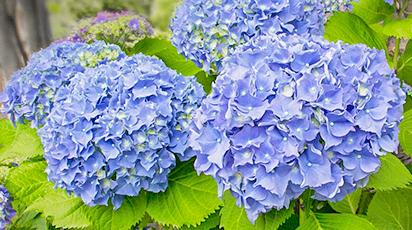 Ce să plantezi alături de hortensii: prințesele grădinii umbrite
