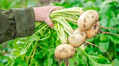 Ce soiuri de napi să alegi și cum le plantezi în grădină