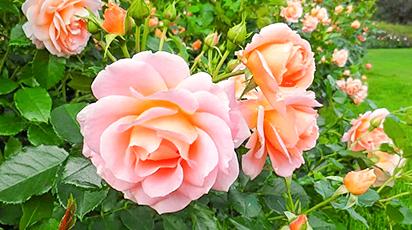 Ce soiuri de trandafiri aleg grădinarii începători