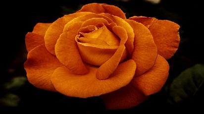 Ce trandafiri se folosesc la dulceaţă?