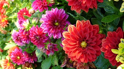 Colorează-ți grădina cu dalii