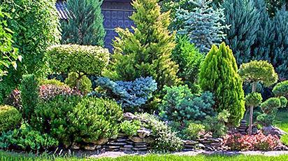 Coniferele - aristocratele grădinilor!