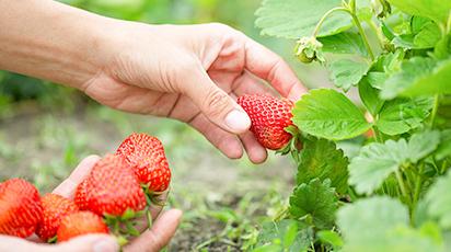 Creșterea culturilor de căpșuni remontante