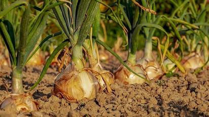 Creșterea cepei în grădină: sfaturi utile pentru recolte bogate