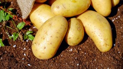 Cultura cartofului: sfaturi de plantare și îngrijire pentru recolte bogate