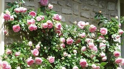Cum avem grijă de trandafirii urcători la finalul verii?