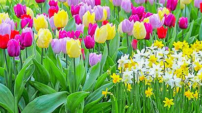 Cum combinăm bulbii în covoarele de flori