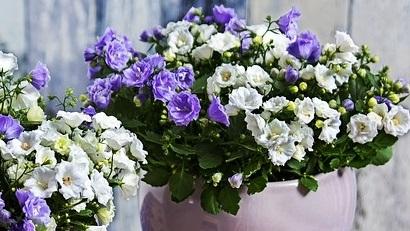 Un spectacol floral: cum îngrijesc campanula în perioada iernii?