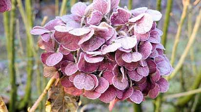 Cum păstrezi hortensiile iarna: secretele unei grădini magice