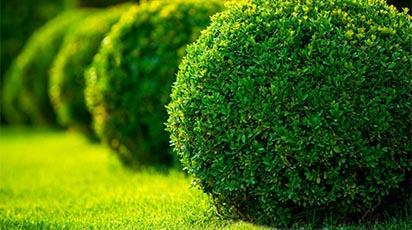 Cum plantezi şi îngrijeşti arbuştii ornamentali