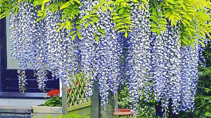 Cum plantezi și îngrijești Wisteria în grădină