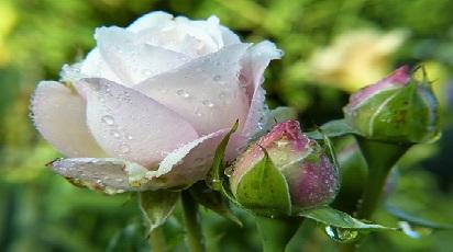 Cum se îngrijesc trandafirii?