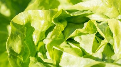 Cum se plantează salata toamna: sfaturi de semănare și îngrijire