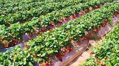 Cum se plantează stolonii de căpșuni?