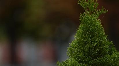 Idei practice pentru amenajări peisagistice: plantarea coniferelor
